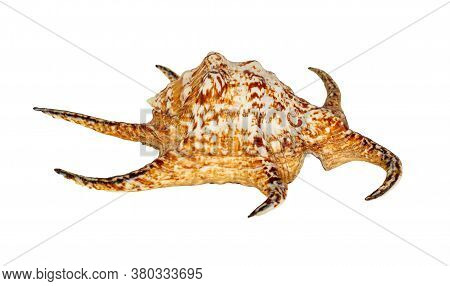 Sea Shell Isolated On A White Background. Lambis Is A Genus Of Large Sea Snails Sometimes Known As S