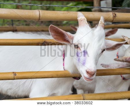 White Goat In Bamboo Fold