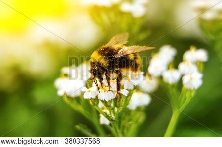 Macro Shot Of Bumblebee On The Flower.