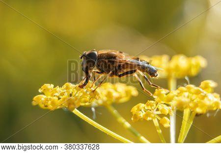 Macro Shot Of European Honey Bee. Apis Mellifera.