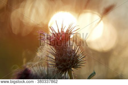 Macro Shot Of Greater Burdock On The Sunset. Arctium Lappa.