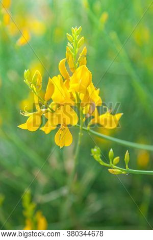 Close up of Spanish Broom (Spartium junceum)