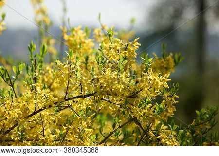 Blooming Forsythia Flowers Close Up. Yellow Tree Blossom In Spring. Beautiful Spring Time Floral Bac