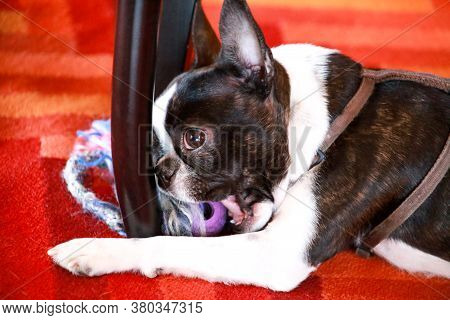 Boston Terrier Sweet Dog Breed Is Playing And Enjoys With His Favorite Toy, Violet Ball For Dogs On