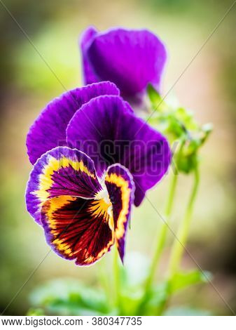 Beautiful Purple Garden Pansy (viola Wittrockiana) With Blur