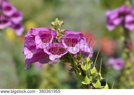 Common Foxglove - Latin Name - Digitalis Purpurea