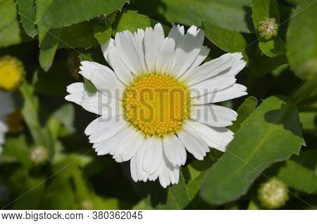 Shasta Daisy Snow Lady - Latin Name - Leucanthemum X Superbum Snow Lady