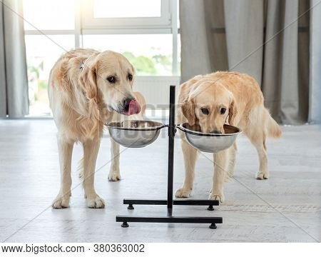 Couple of golden retrievers drinking water