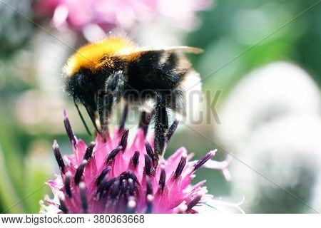 A Bumblebee Collects Nectar On A Yellow Flower. A Hard-working Bumblebee Works, Pollinates Flowers