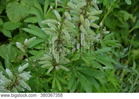 Lupine Seeds, Perennial Lupine, Lupin Seed Pods