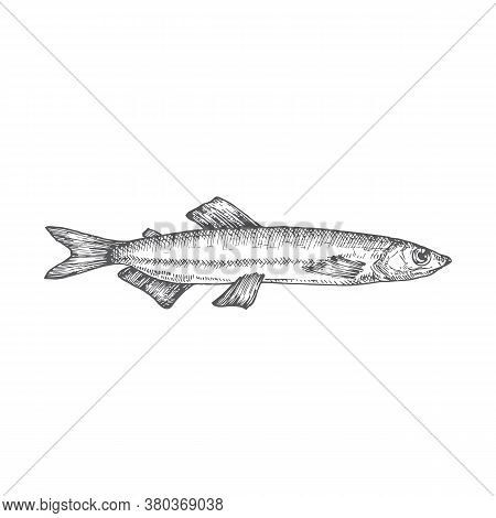 Capelin Hand Drawn Doodle Vector Illustration. Abstract Seafood Fish Sketch. Engraving Style Drawing