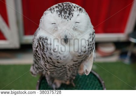 Close Up Face Of Owl, Nocturnal Animals