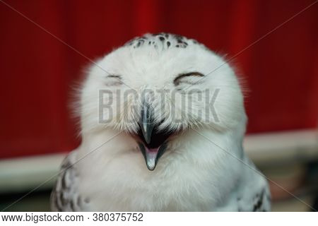 Close Up Face Of Owl, Nocturnal Animals, Selective Focus Of Mouth Concept Like Smiling.