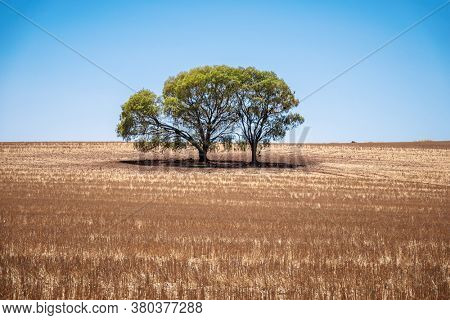 An image of a eucalyptus tree in an Australian landscape scenery