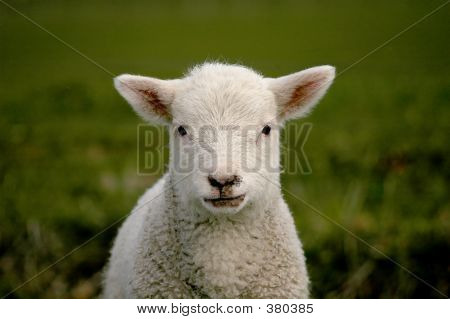 a protrait of a little spring lamb poster