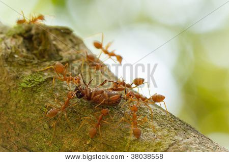 Ants In A Tree Carrying A Death Bug