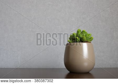 Green euphorbia susannae succulent plant growing in ceramic vase isolated on clean gray background and placed off-center on shelf. Minimalist setting in sober earth tones with empty space for text on the left