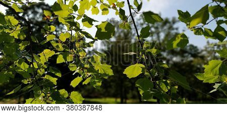Maple Leaves. Backlit Foliage On A Tree. Blurred Background.