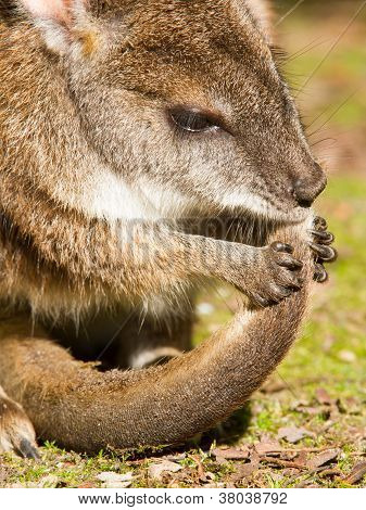 Parma Wallaby Is Cleaning It's Tail