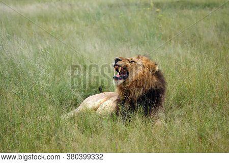 The Southwest African Lion Or Katanga Lion (panthera Leo Bleyenberghi) Yawning In Savannah. Large Ma