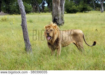 The Southwest African Lion Or Katanga Lion (panthera Leo Bleyenberghi), A Large Male With Pale Mane