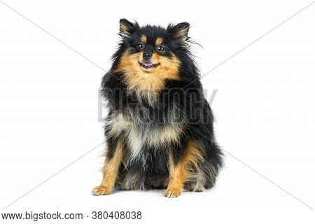 Adult Pomeranian Puppy Spitz, Isolated. Cute Pomeranian Black And Tan Color, White Background. Famil