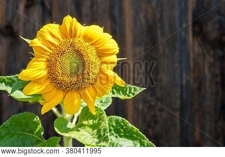 Yellow Young Sunflower Flower With Green Leaves On The Background Of The Brown Wooden Wall Of The Ba
