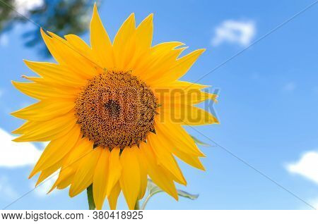 Yellow Flowers Of A Sunflower Against A Blue Sky, With Petals And Stamens, Natural Flowers Close-up