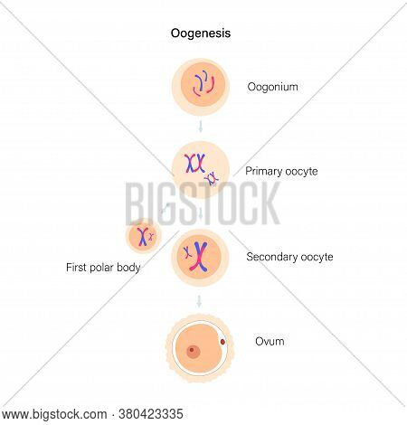 Oogenesis And Cell Division. Diploid Cells. Dna Replication And Human Reproductive System Concept. M