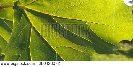 Maple Leaves. Backlit Foliage On A Tree. Blurred Background. Image With Selective Focus. Maple Leaf