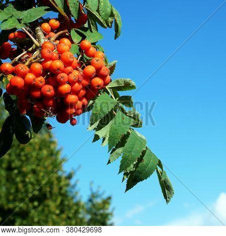 Rowan Branch With Ripe Fruits Close-up. Red Rowan Berries On The Rowan Tree Branches. Bunch Of Rowan