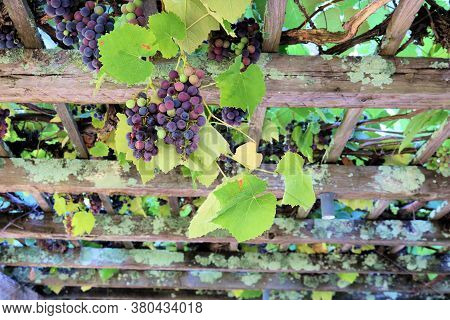 Rustic Wooden Atrium With Grapevines With Fresh Ripe Grapes Taken At A Gazebo In A Garden