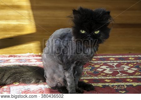 Shaved Young Purebred Persian Cat After Having To Be Shaved To Remove Matting