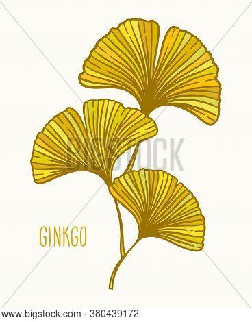 Autumn Ginkgo Or Gingko Biloba Leaves. Nature Botanical Vector Illustration, Herbal Medicine Graphic