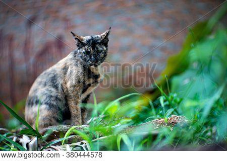 Portrait Of Tricolor Cat At The Garden, Close Up Thai Cat