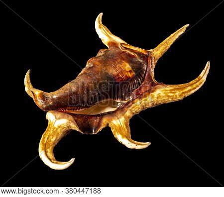 Sea Shell Isolated On A Black Background. Lambis Is A Genus Of Large Sea Snails Sometimes Known As S