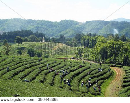 Chiang Rai. Thailand, June 17, 2017: Workers Collecting Tea In A Plantation In The Mountains Of Chia