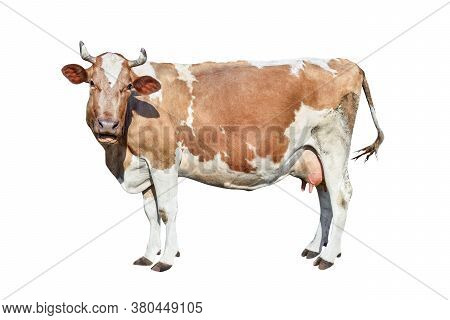 Cow Isolated On White. Talking Red And White Cow. Funny Curious Cow. Farm Animals. Cow, Standing Ful