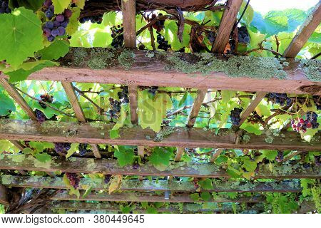 Ripe Red Grapes Hanging From Lush Green Grapevines On A Wooden Garden Atrium Taken Above An Outdoor