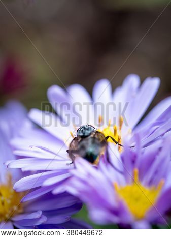 Blue Blowfly (calliphora Vicina) Sucking A New England Aster (symphyotrichum Novae-angliae / Aster N
