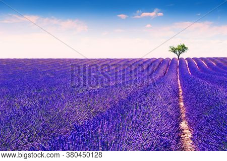 Lavender Fields Near Valensole, Provence, France. Beautiful Summer Landscape. Lonely Tree Among Bloo