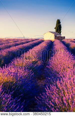 Small House With Cypress Tree In Lavender Fields At Sunset Near Valensole, Provence, France. Beautif