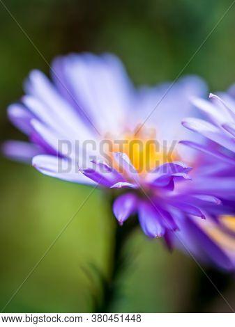 Macro Shot Of A New England Aster (novae Angliae) Flower.
