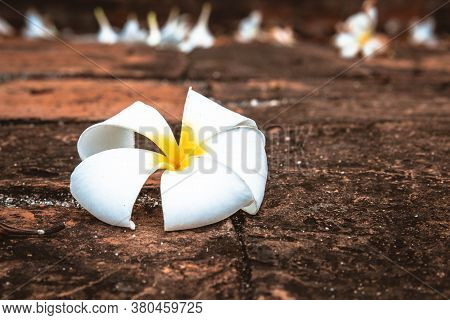 Close Up White Plumeria Flower On The Ground  Or Frangipani. Tropical Flowers