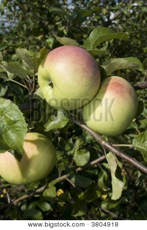 The Yellow Apples On The Branch