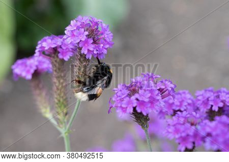 Bumble Bee In Purple Flower In Summer Time