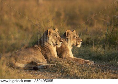 Two Female Lioness Lying Down Watching The Sunset In Khwai Okavango Delta Botswana