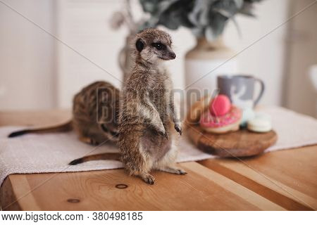 The Meerkats Or Suricates Eating Sweets And Donuts
