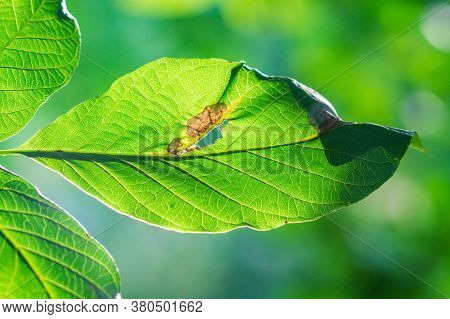 Bacterial Diseases Of Nuts Appear As Lesions And Brown Spots On Green Leaves