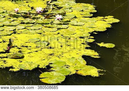 Close-up Landscape View Of Picturesque Pond With Lily Pads On The Surface. Scenic Arboretum Oleksand
